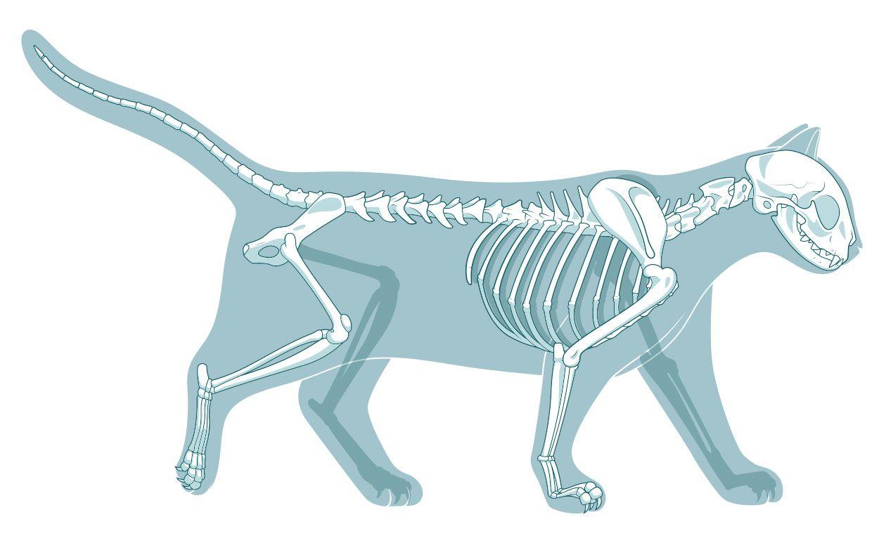 Cat Anatomy Diagram Bone - Block And Schematic Diagrams •