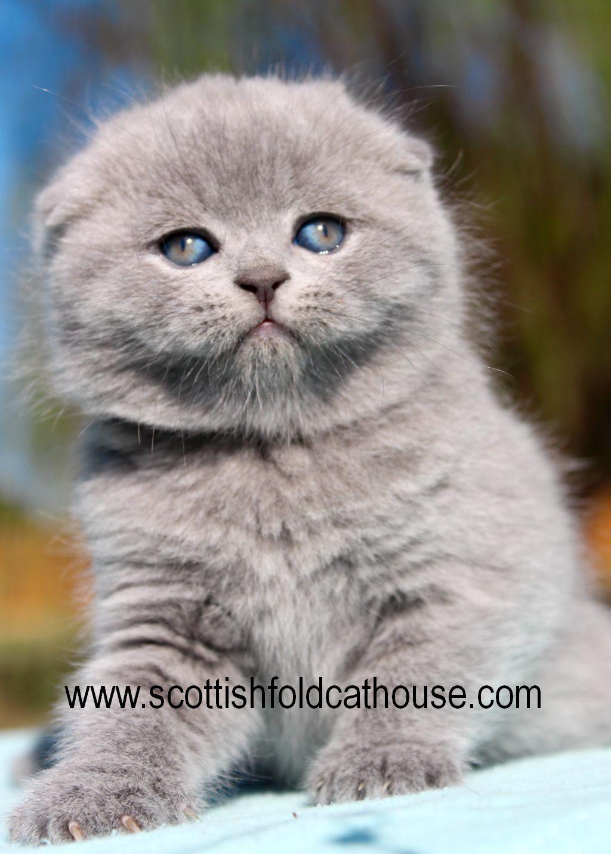 Blue Scottish Fold Female Scottish Fold Kittens Scottish Fold Cat Scottish Fold