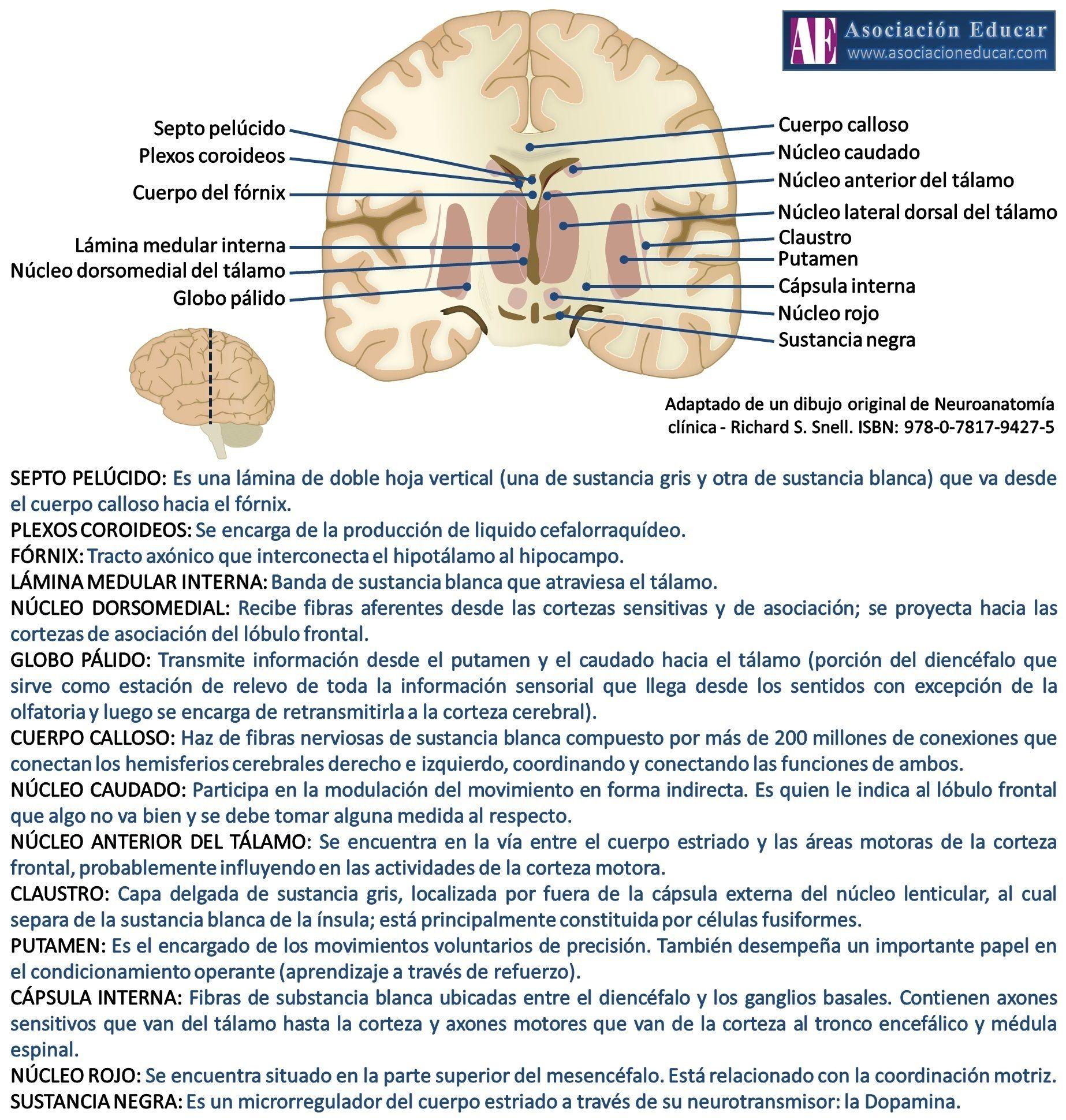Plexos coroideos - Fórnix - Tálamo - Globo pálido - Cuerpo calloso ...