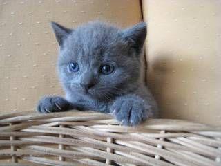 British Shorthair Kittens Singapore Classifieds British Shorthair Kittens British Shorthair Kittens