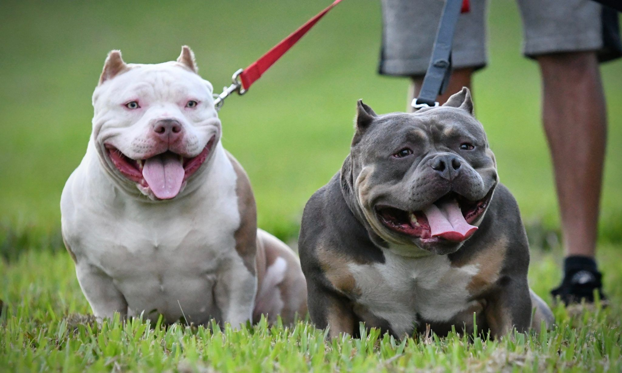 Pin On Extreme Build American Bullies