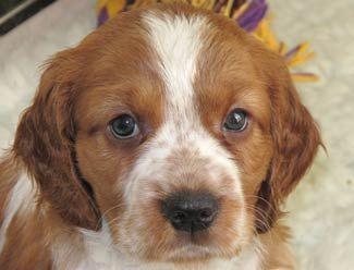 Welsh Springer Spaniel Puppies For Sale Welsh Springer Dog Breed Springer Spaniel Puppies Springer Dog Welsh Springer Spaniel Puppies