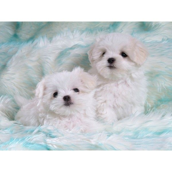 Two White Puppies On Light Blue Carpet Cute Wallpaper Liked On Polyvore Baby Dogs Maltese Puppy Cute Puppy Wallpaper