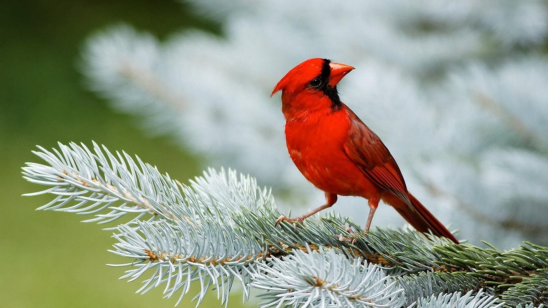 red cardinal birds 1080p hd wallpaper aves