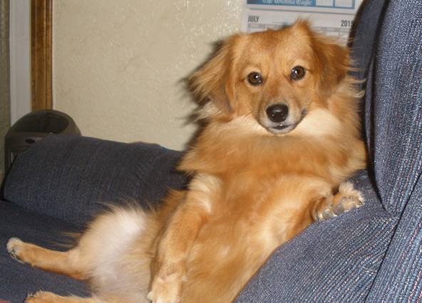 Dameranian Dachshund Pomeranian Hybrid I Mean Seriously Unique Dog Breeds Pomeranian Mix Puppies Dog Breeds