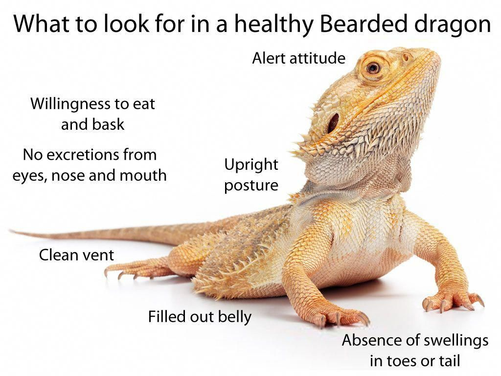 What to look for in a healthy, happy pet Bearded dragon