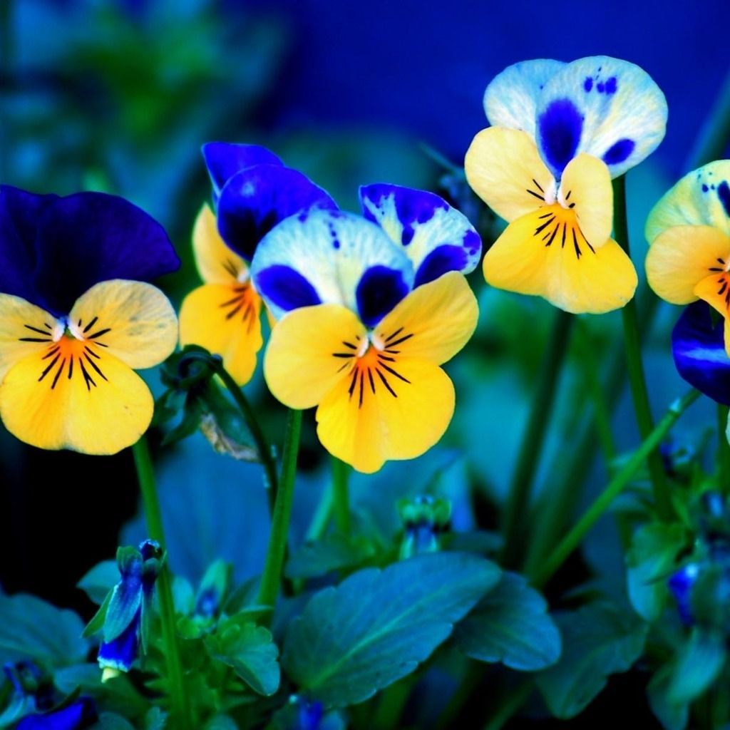Pansy Flowers Ipad Wallpaper Download Iphone Wallpapers Ipad Wallpapers One Stop Download Pansies Flowers Flower Wallpaper Spring Flowers Wallpaper