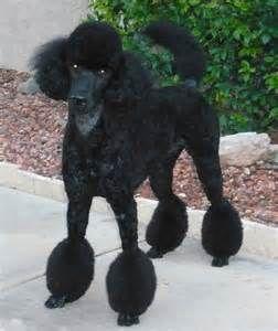 Poodle Bikini Clip Bing Images Poodle Grooming Standard