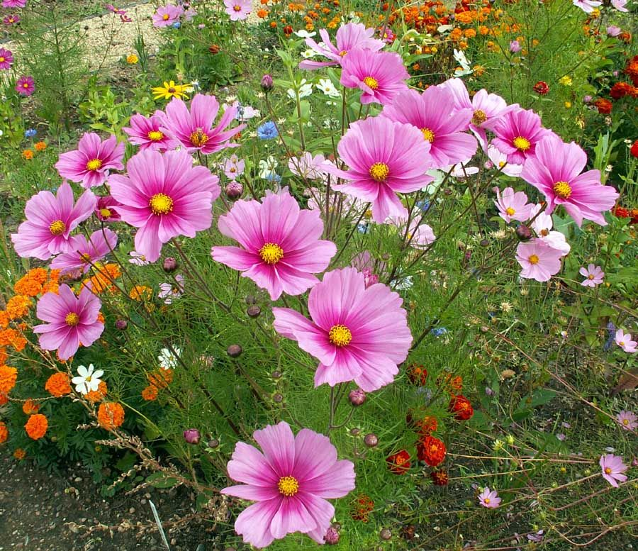 Radiance Cosmo Seeds Urban Farmer Seeds Cosmos Plant Cosmos Flowers Plants