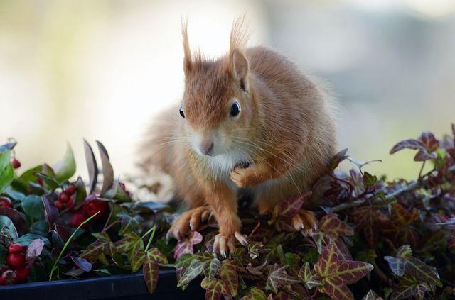 Ilmainen kuva Pixabayssa - Orava, Croissant, Parveke, Jyrsijä