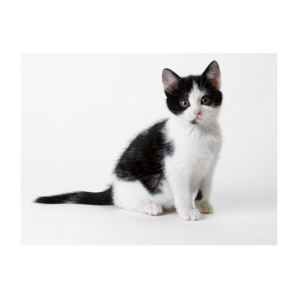 Wallpaper Cute Black And White Kitten Photos And Free Walls Liked On Polyvore Black And White Kittens Cat Background Funny Cute Cats