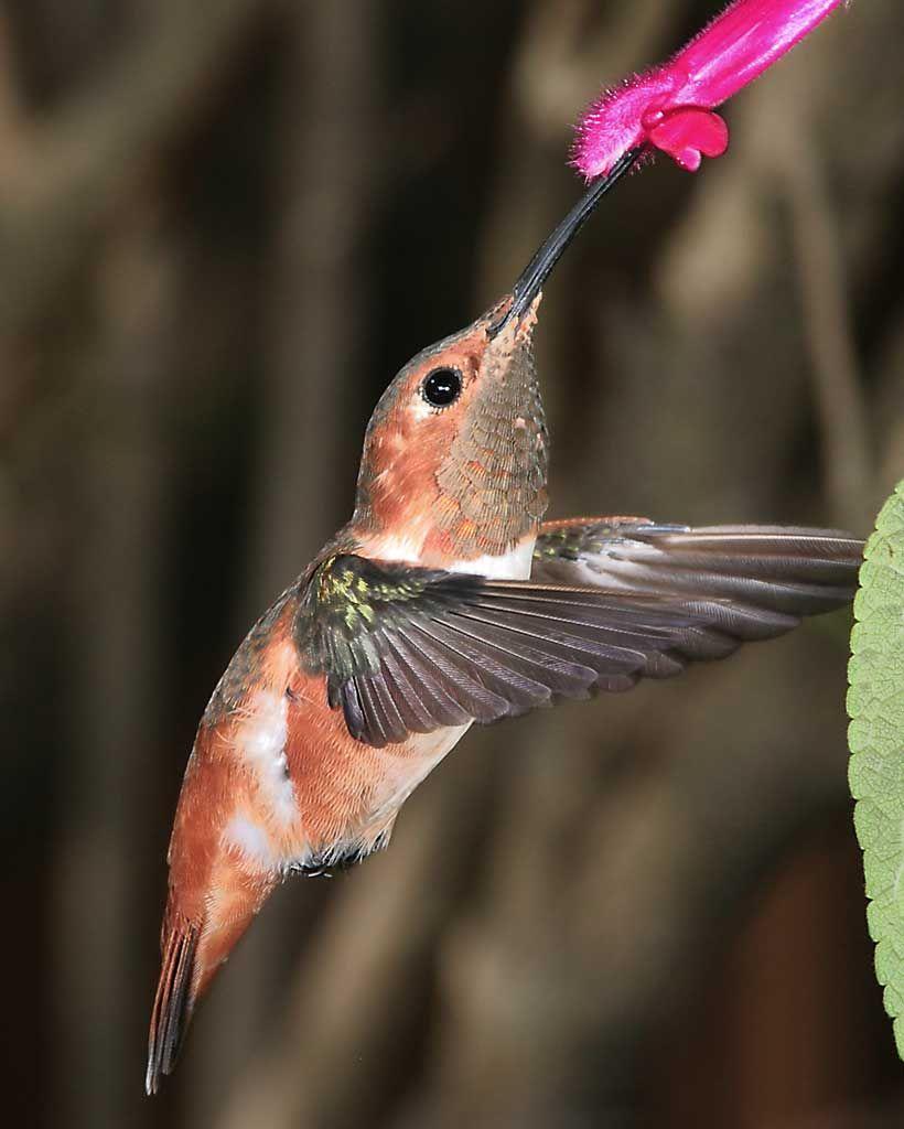 Allen's Hummingbird Colibri, Aves