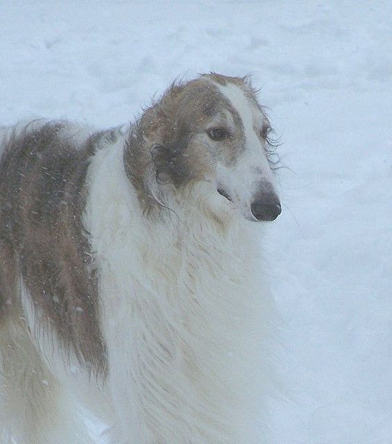 Viktor in the blowing snow by Ferlinka Borzoi (Deb West), via Flickr