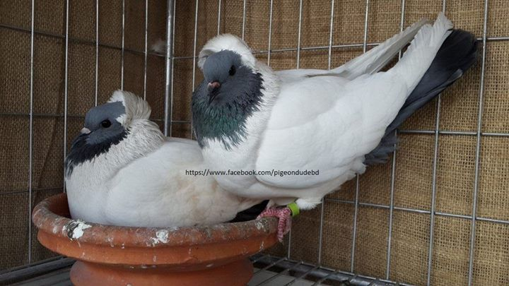 EE ringed (2013) English Blue Nan pigeon for sale - BD ...