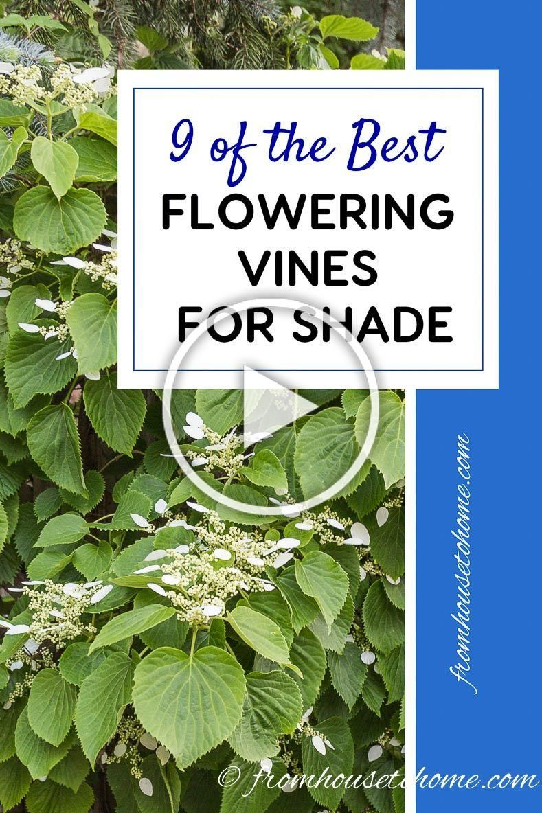 This list of flowering vines for the shade is the BEST I love that these are all perennial and noninvasive plants I need to hide the view of my neighbors shed and now I k...