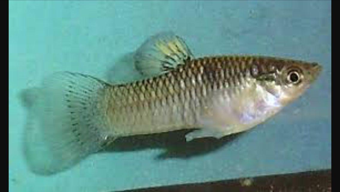 Image result for Poecilia vivipara