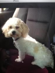 Napoleon is an adoptable Shih Tzu Dog in Spring, TX. Napoleon is a precious one year old 13lb shihtzu/bichon mix. He is very sweet, playful, loves all. Great with children(over age of 8 due to his s...