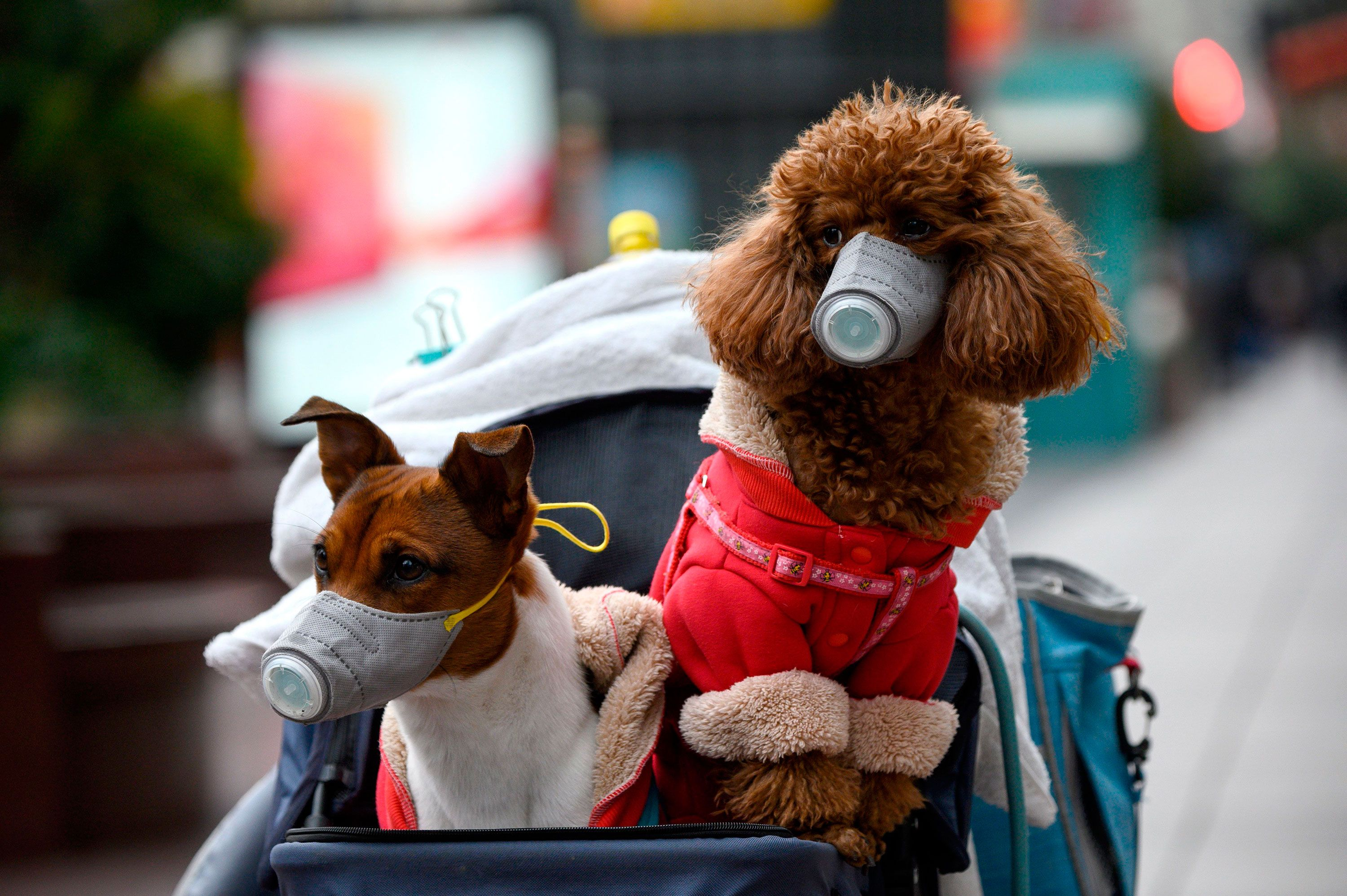 Two Dogs Wearing Face Masks In Shanghai On February 19 2020 In