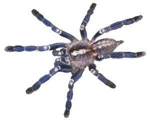 Indian Sapphire Ornamental tarantula for sale - Poecilotheria