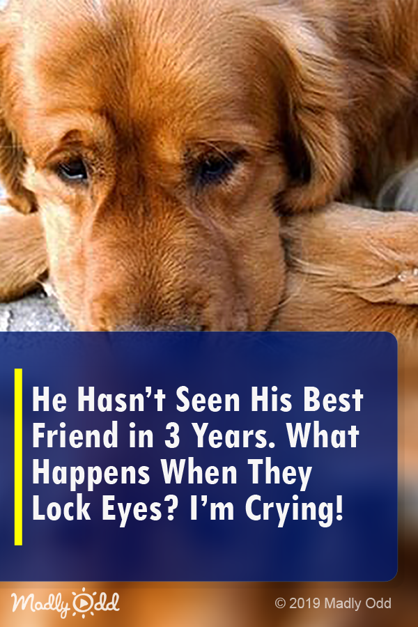 He Hasn T Seen His Best Friend In 3 Years What Happens When They Lock Eyes I M Crying Dogs Cute Dog Pets Animals Video Puppy Dog Waiting Dogs Animals