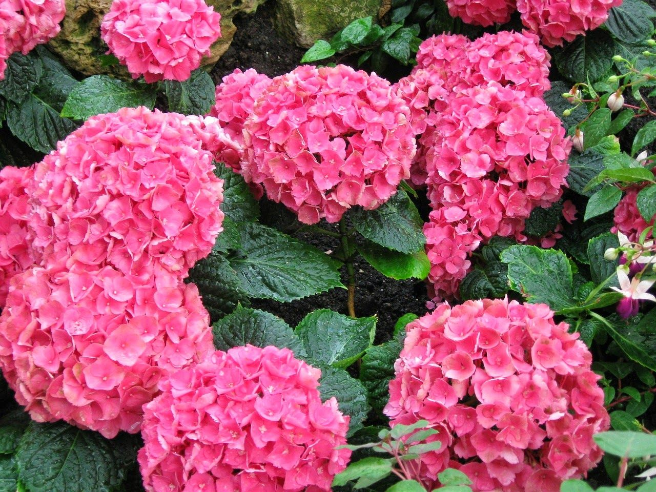Revealing Chile And The Chileans I Love Hydrangeas Hydrangea Flowers Pink Hydrangea