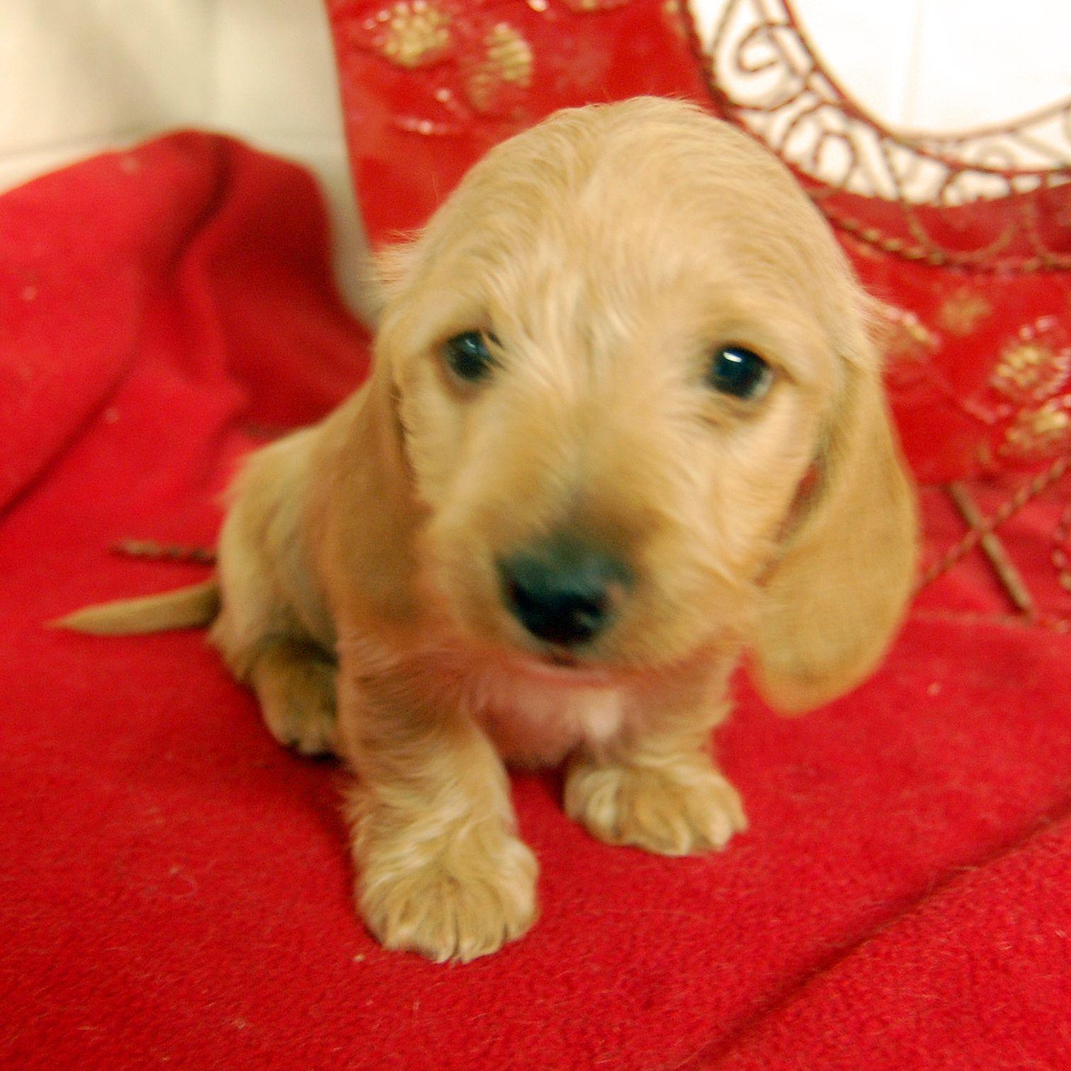 Miniature Dachshund Puppies Dachshund puppy miniature