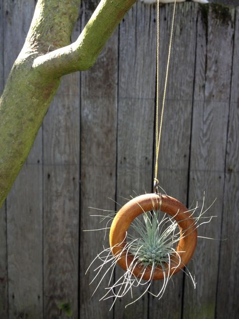 air plant in wood curtain ring.