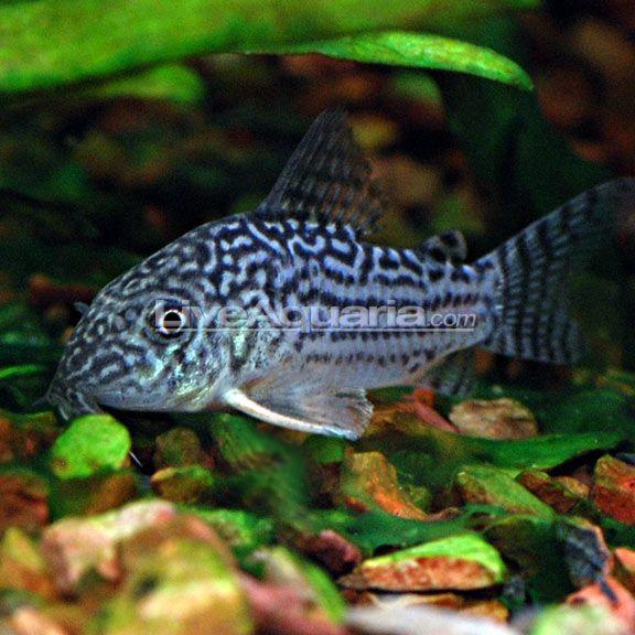 Pin On Freshwater Fish Plants