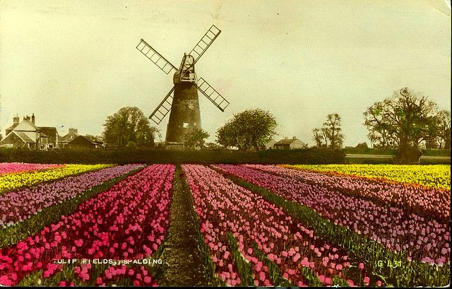 Spalding Windmill In The Tulip Fields Lincolnshire Old Postcard Lincolnshire Old Postcards Spalding