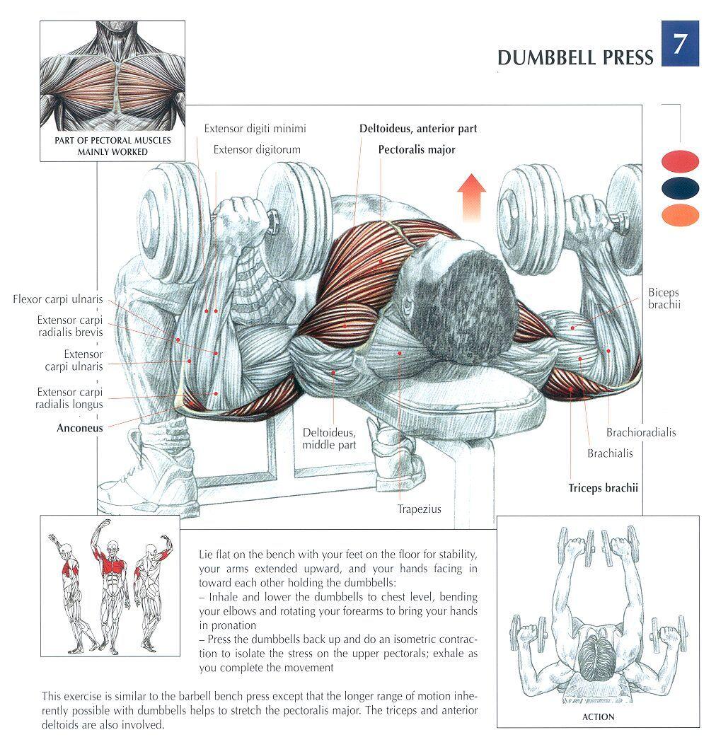 Dumbbell Press. | Strength Training Anatomy | Pinterest | Workout ...