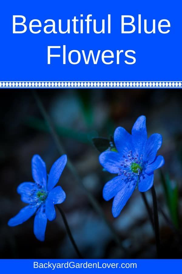 Do You Want Some Beautiful Blue Flowers For Your Garden While Are More Rare It Doesn T Mean Landscape Has To Go Without