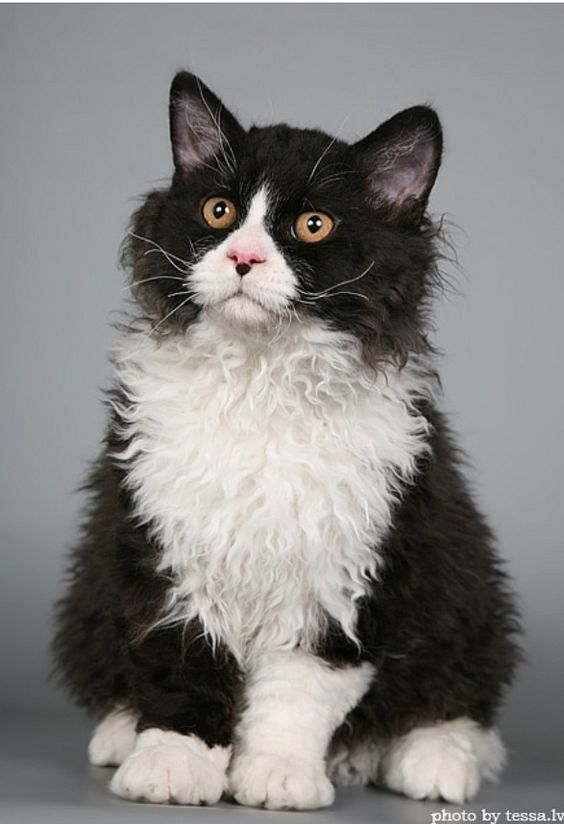 All About Tuxedo Cats Fluffy cat breeds, Cats, kittens, Cats