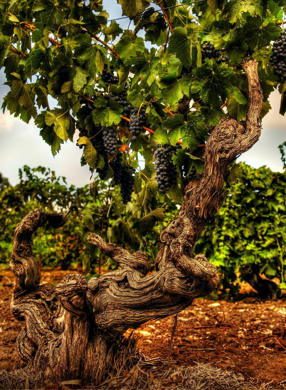 The Freedom Shiraz vineyard at Langmeil Winery. Planted 1843 and believed to be the oldest Shiraz vines in the world.  Image by Dragan Radocaj Photography. © Barossa Grape  Wine Association.