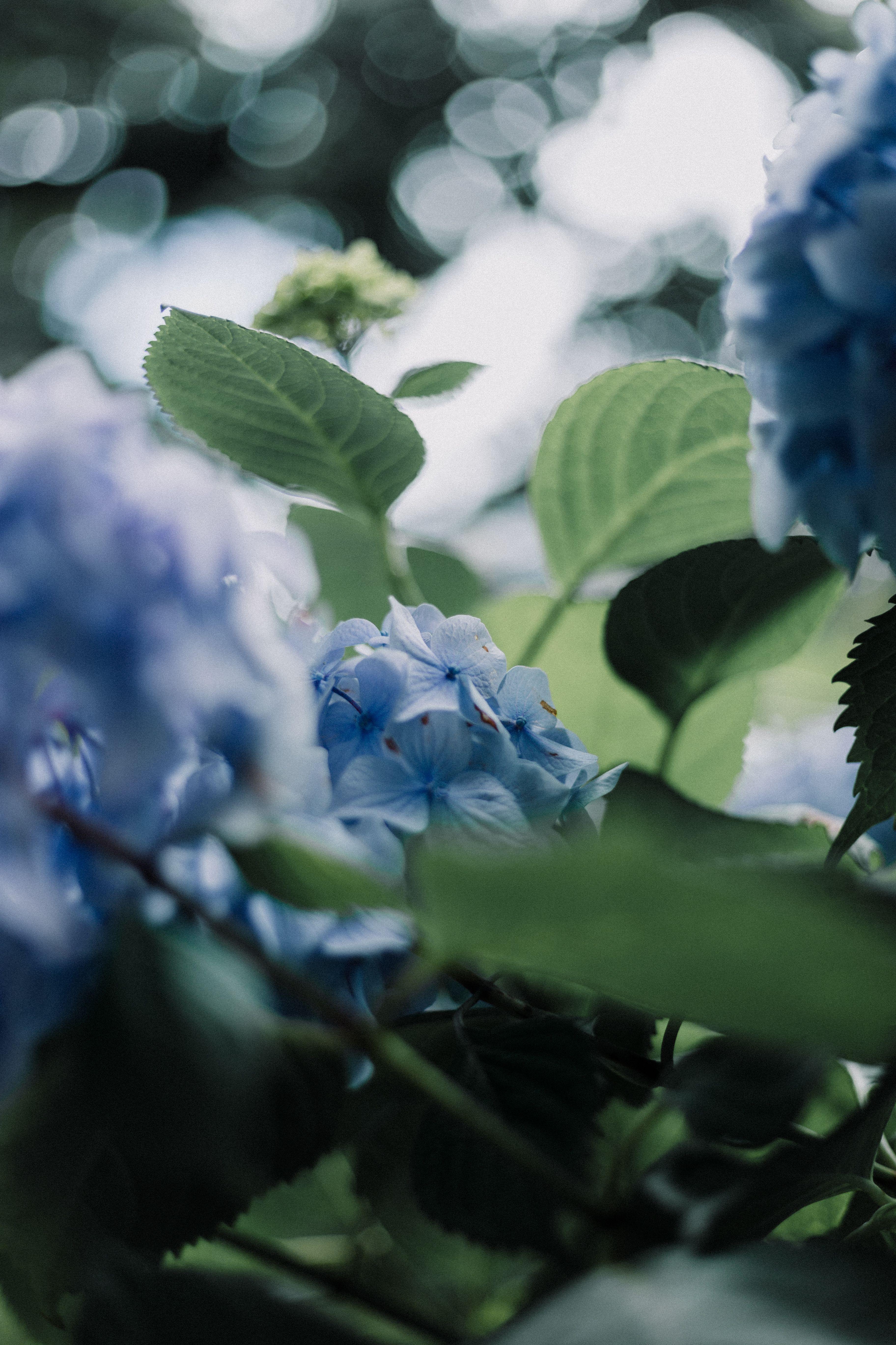 9 Shocking Flowers Pics Blue Hydrangea Flowers Flower Blossom Plant In 2020 Blue Hydrangea Flowers Medicinal Plants Flower Pictures