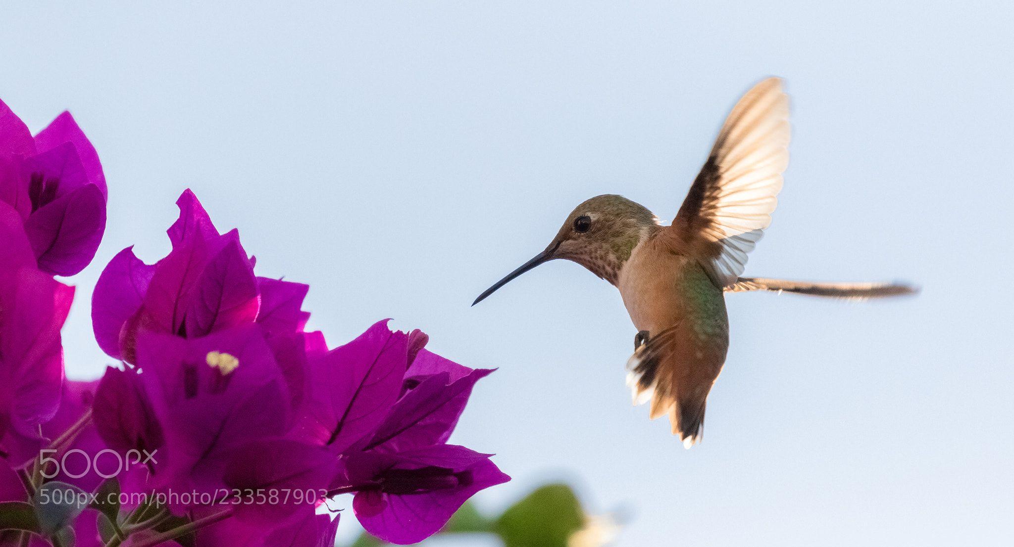 Allen's hummingbird (Annie Duong / LA / USA) Canon EOS 7D