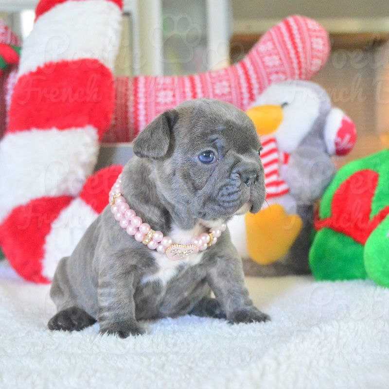 French Bulldog Puppy For Sale In Fort Lauderdale Fl Adn 56746 On