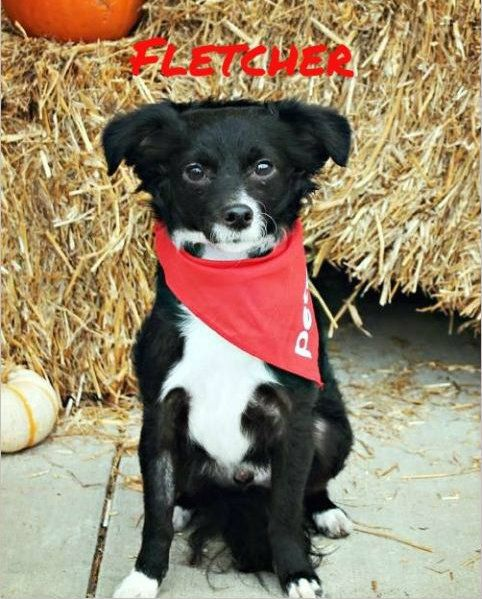 Petfinder Adoptable Dog Dachshund Chihuahua Poodle Mix