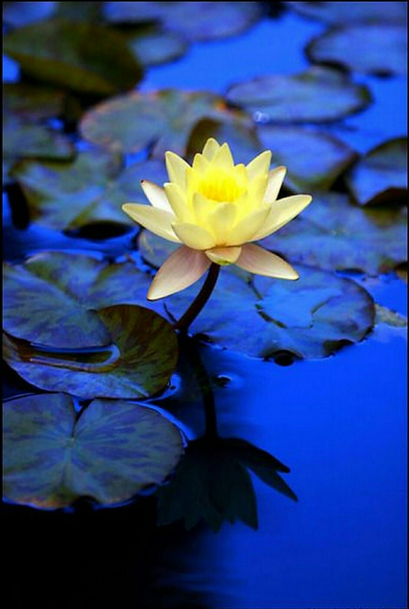 Pin by lilly issa on pinterest explore lotus flowers yellow flowers and more dhlflorist Images
