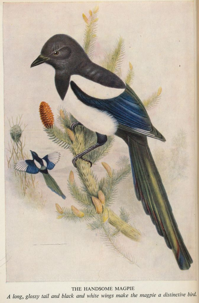 birds,trees &flowers j 50 ill handsome magpie | Flickr - Photo Sharing!