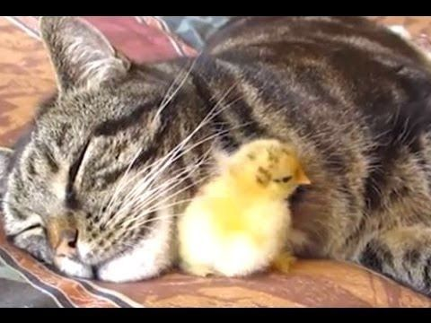 Mom Cat Adopts ChickBunnyPuppy