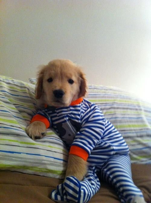 Lazy Days Cute Animals Puppies In Pajamas Golden Retriever Puppy