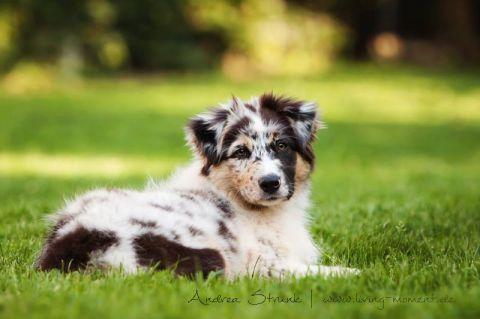 Australian Shepherd Deckruden Australian Shepherd Ruden Australian Shepherd Zuchter Deckruden Aussies Welpen Welpen Australischer Schaferhund Hunde