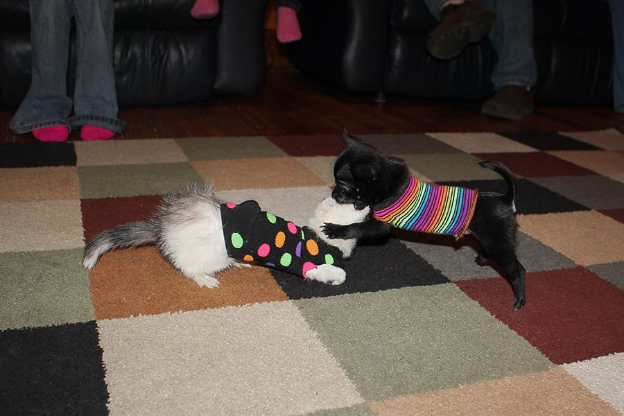9 week old chihuahua & 14 week old ferret playing. :] Best Buddies! They are both wearing a sock for a shirt because they are the same size. :]
