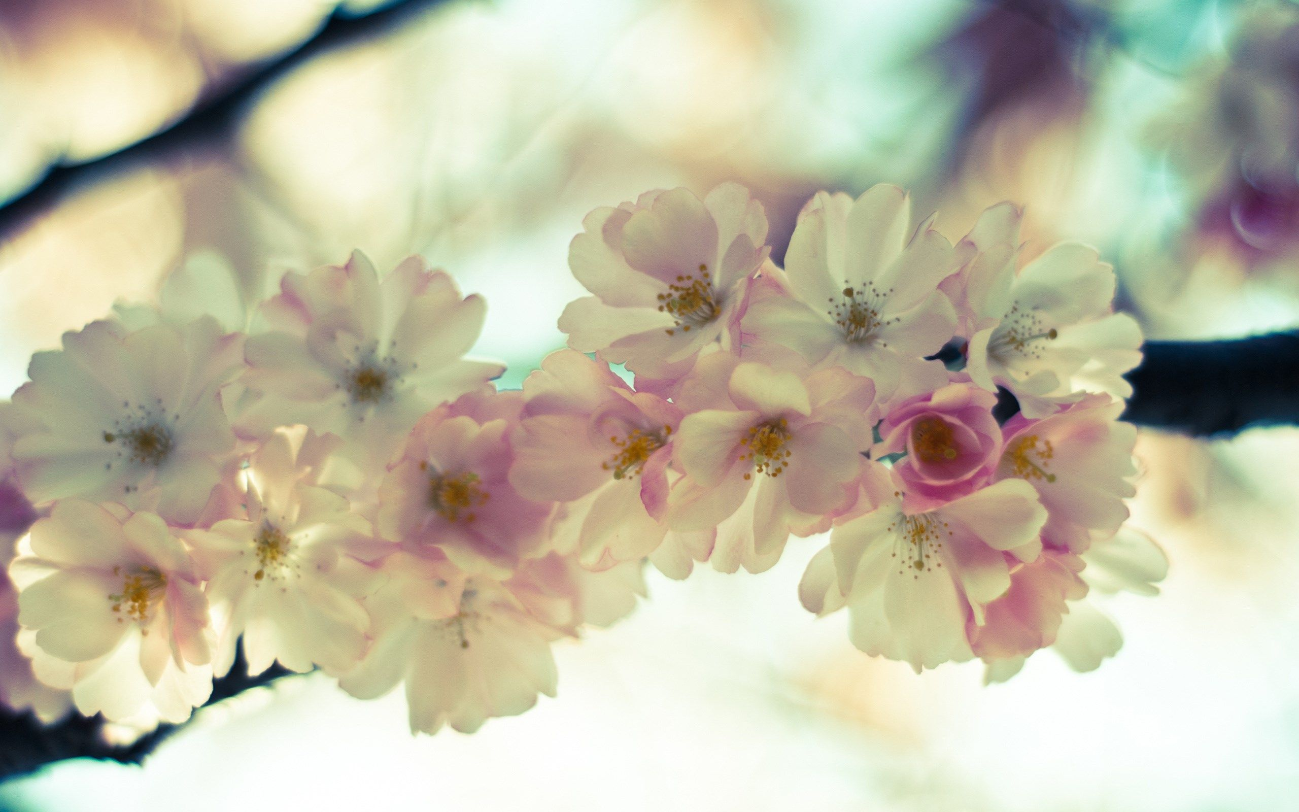 2560x1600 Widescreen Wallpaper blossom Blossom, Cherry
