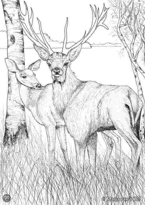 Buck In The Woods Coloring Pages Coloring Pages Coloring Books Animal Coloring Pages