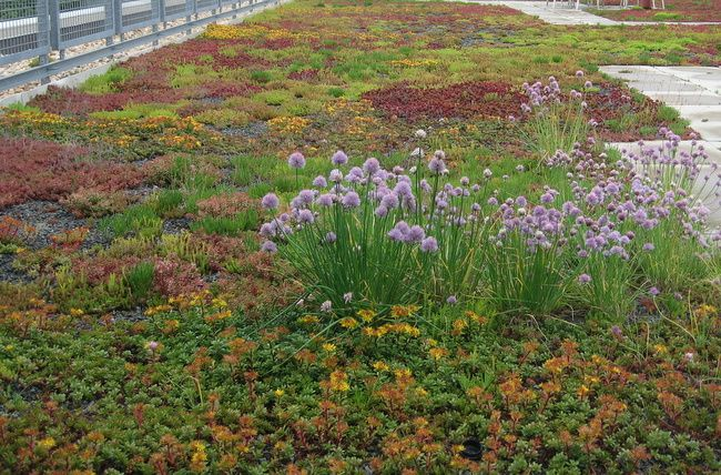 Sedum very drought tolerant there are a lot of for Drought tolerant ground cover full sun