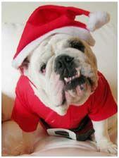 Christmas Bulldogs Santa Bulldogs Bulldog Funny Bulldog English Bulldog Lover