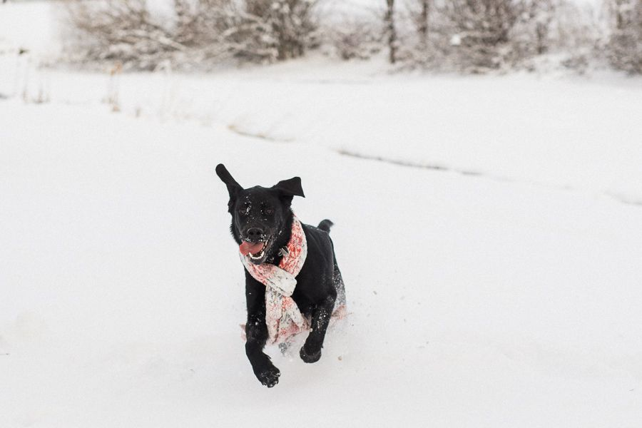 black lab winter pet photography
