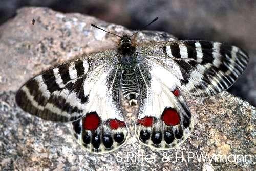Parnassius Charltonius Deckerti Regal Apollo Euroleps Ch C Heiner Ziegler Schmetterling Schone Schmetterlinge Libellen