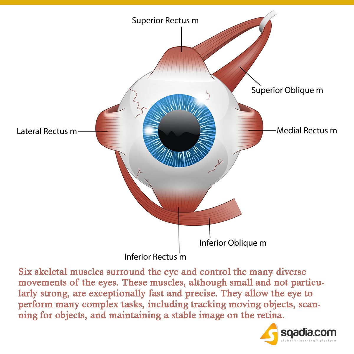 Eye Muscles   Rectus muscle, Medical mnemonics, Medical facts